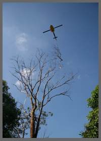 A tree that needs tree services in Redland Bay